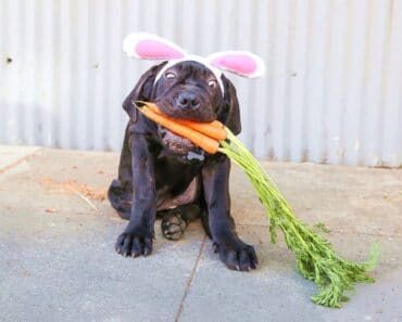 Can Dogs Eat Carrots? Benefits Of Carrots For Dogs